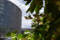 The Linden blooms almost gone by scent the city